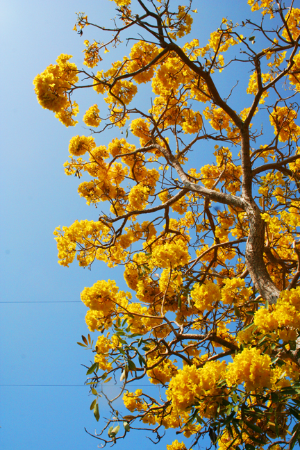 Anahata katkin florida yellow flowers mightylinksfo