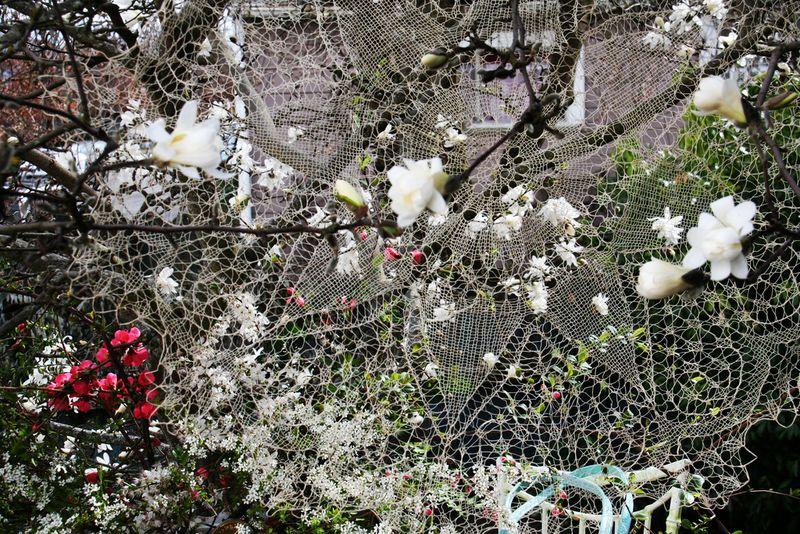 Anahata-laceblossoms