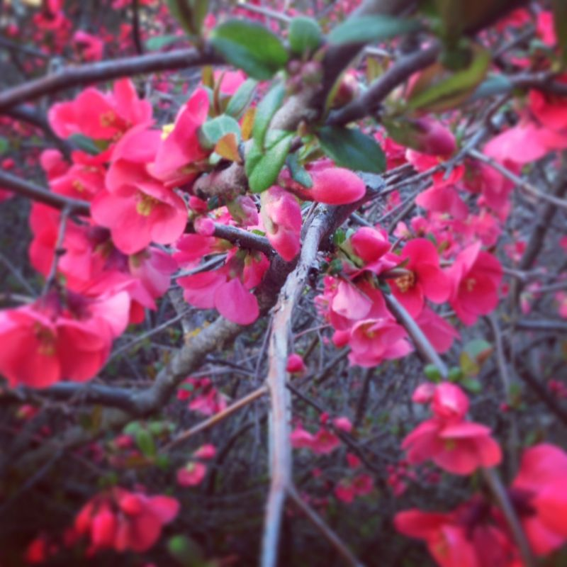 Flowering quince anahata katkin