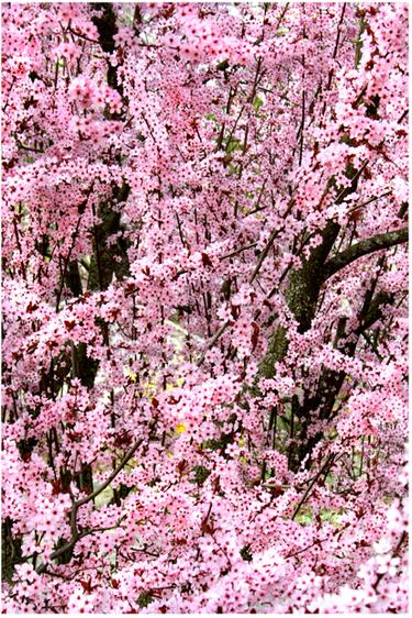 Cherry_blossom_2
